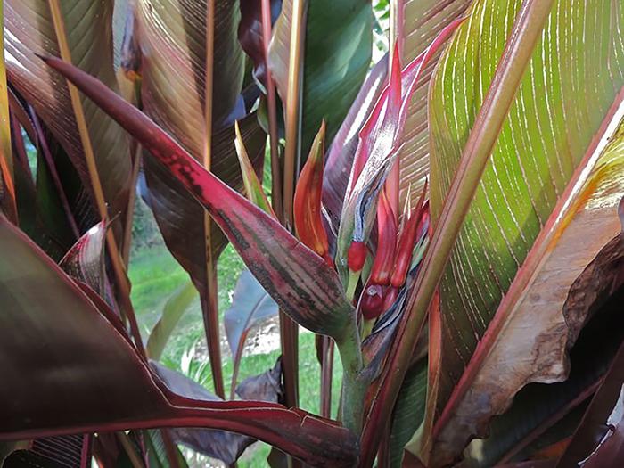 Геликония индийская (Heliconia indica)