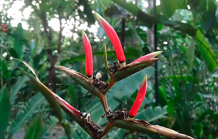 Геликония металлическая (Heliconia metallica)