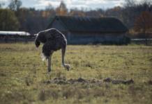 Инкубаторы и параметры инкубирования страусов