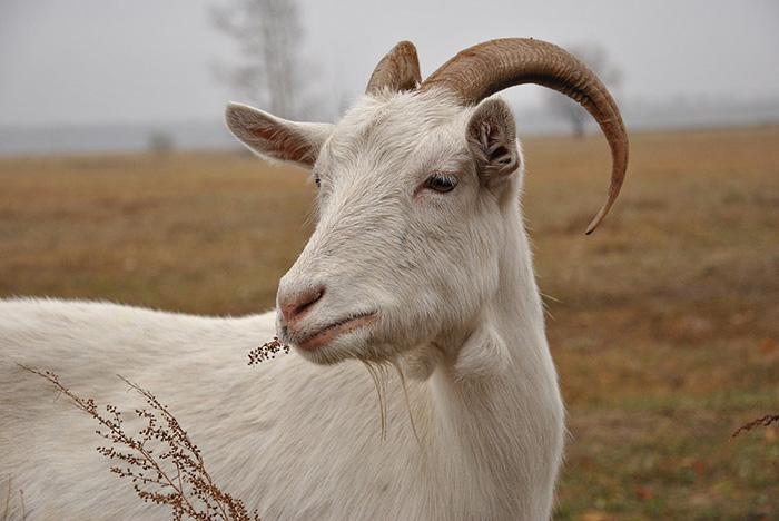 Инвазионные (паразитарные) болезни коз