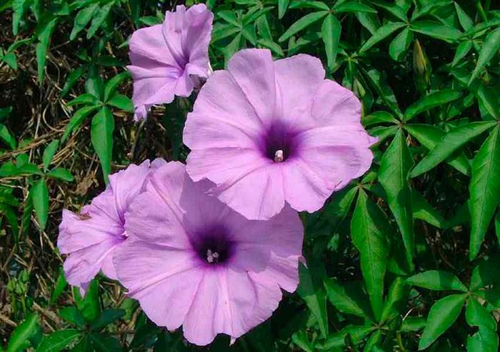 Ипомея каирская (Ipomoea cairica)