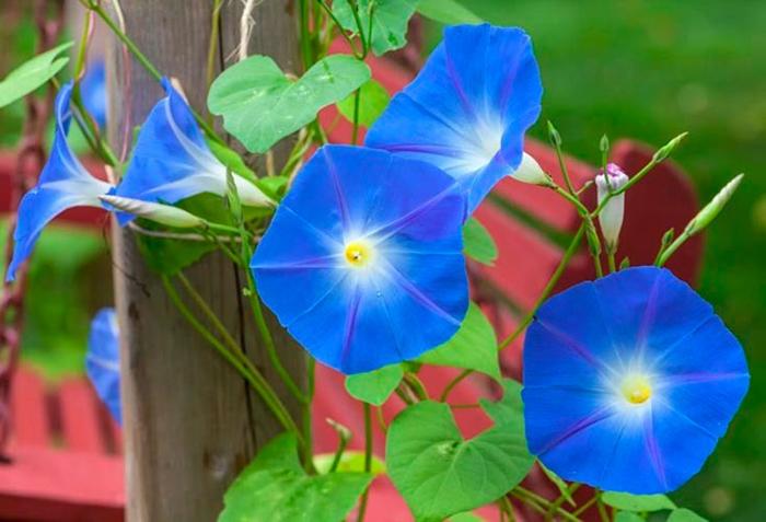 Ипомея трехцветная (Ipomoea tricolor), либо ипомея красно-голубая (Ipomoea rubro-caerulea)