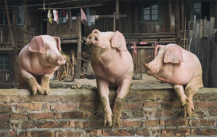 Корма для откорма свиней