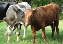 Лейкоз коров