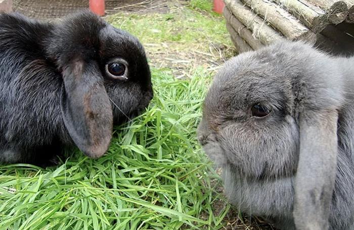 Миксоматоз кролика