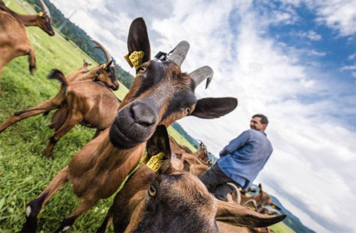 Молочное козоводство