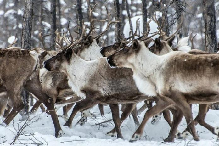На Ямале нелегально уничтожили 22 тыс. оленей