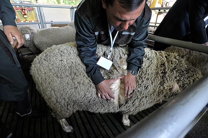 На Ставрополье вывели овец с уникальными качествами