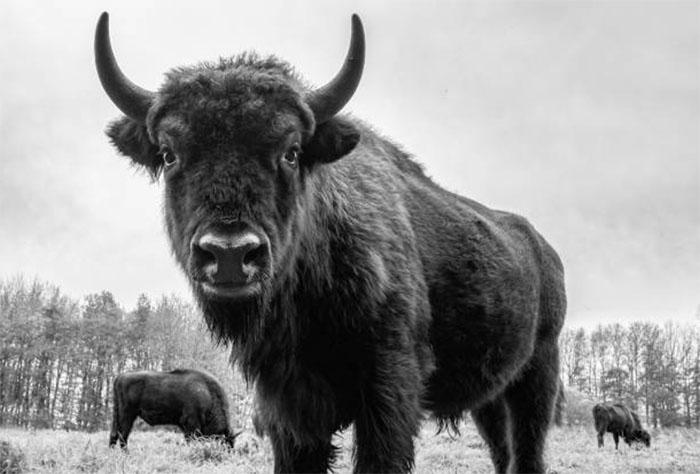 Оценка быков по родословной