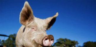 Оценка экстерьера и породности свиньи