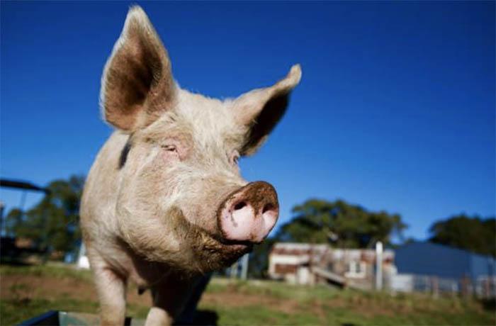 Photo of Оценка экстерьера и породности свиньи