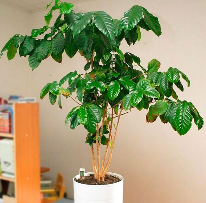 Особенности кофейного дерева