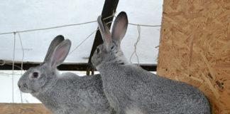 Особенности кроликов