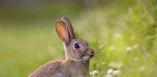 Особенности мужской половой системы кроликов