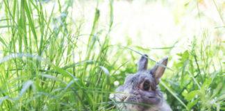 Особенности половой системы крольчих