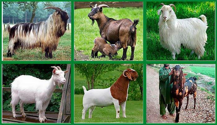 Отбор коз для племенной работы