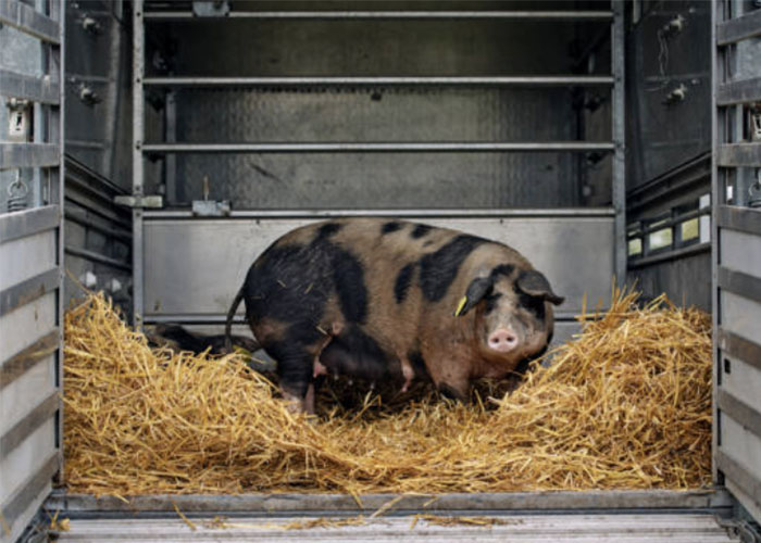 Подготовка свиноматки к опоросу
