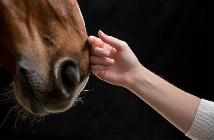 Половая зрелость и случной возраст лошадей