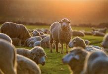 Полугрубошерстные и грубошерстные породы овец