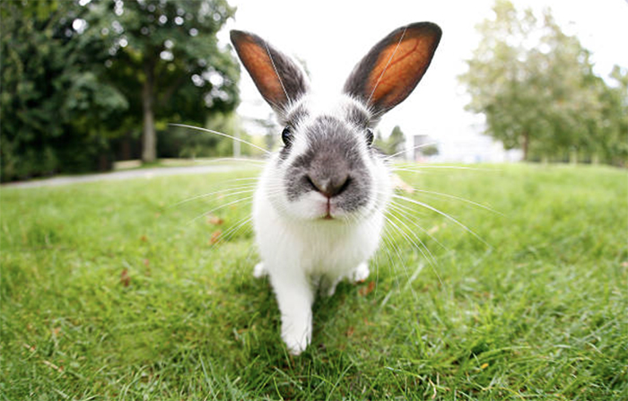 Пороки кроличьих шкурок