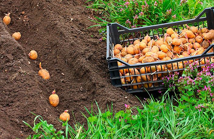 Посадка картофеля в открытый грунт