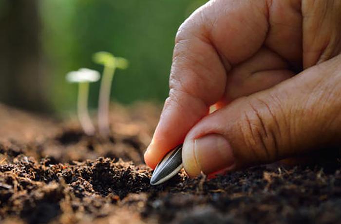 Посев подсолнечника в открытый грунт