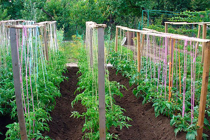 Правила подвязки томатов помидоров