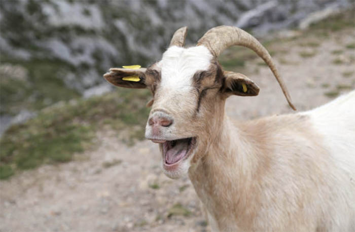 Признаки охоты у коз
