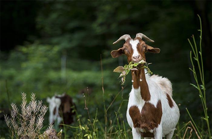Происхождение домашних коз