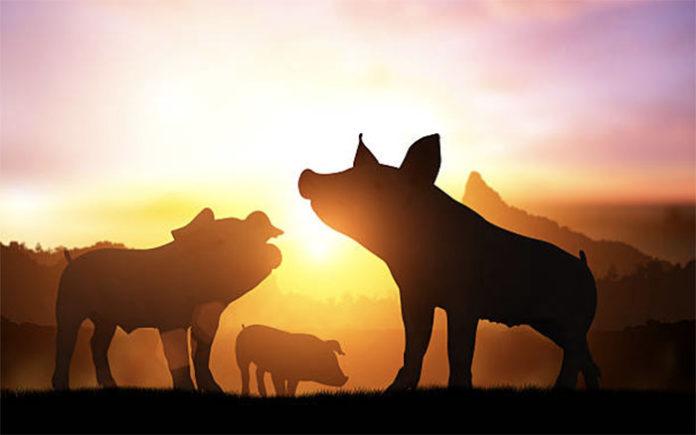 Производство свиней в России выросло на 7%