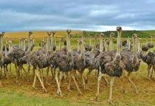 Разведение страусов: миф или реальность?