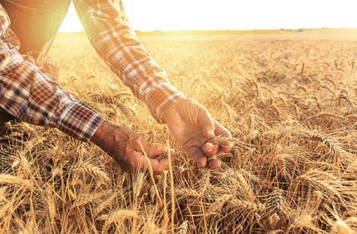 Россия может сохранить мировое лидерство по экспорту пшеницы