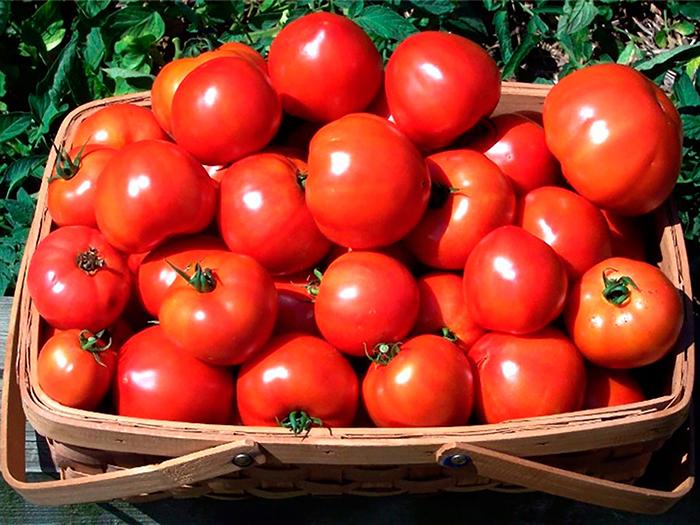 Сбор и хранение помидоров