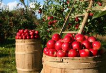 Садоводам Алтайского края расскажут, как получить высокий урожай яблок