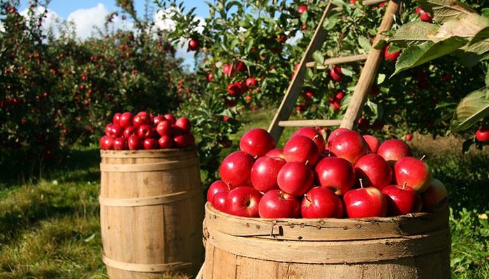 Сегодня в Барнауле расскажут, как получить большой урожай яблок