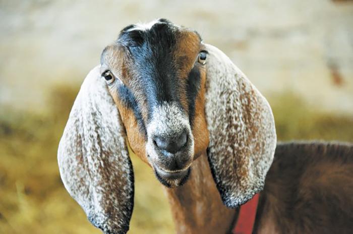 Содержание нубийских коз