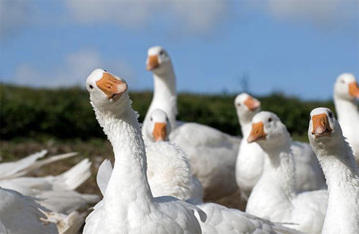 Содержание взрослых гусей