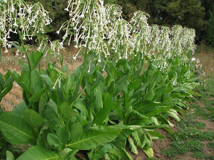 Табак лесной (Nicotiana sylvestris)