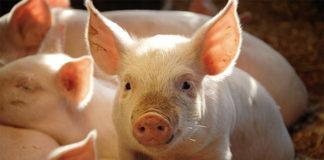Технология воспроизводства свиней