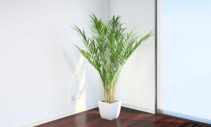 Уход за пальмой арекой в домашних условиях