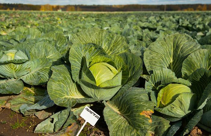 В Ивановской области растут объемы производства овощей
