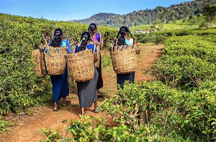 Всемирный банк предоставил Шри-Ланке кредит на развитие сельского хозяйства