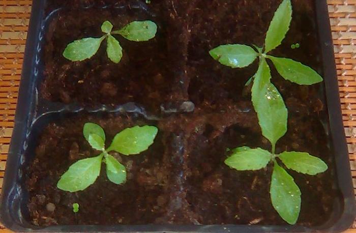 Выращивание будлеи из семян