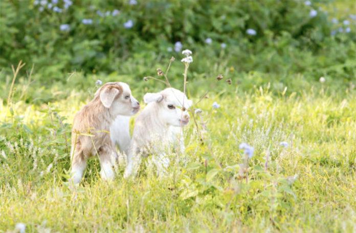 Выращивание козлят