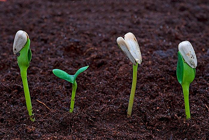 Выращивание подсолнечника из семян