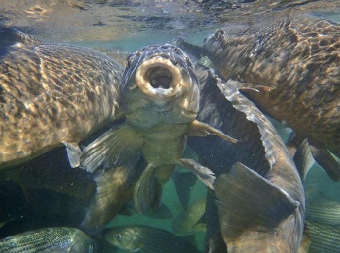 Выращивание растительноядных рыб совместно с карпом