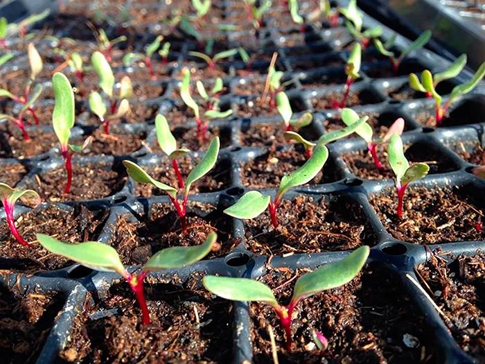 Выращивание свеклы из семян