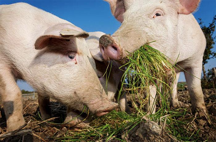 Значение свиноводства и особенности свиней
