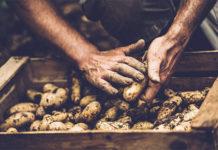 109 тысяч тонн картофеля потеряло Приморье в 2018 году