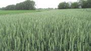 Башкирия может объявить режим ЧС из-за гибели озимой пшеницы